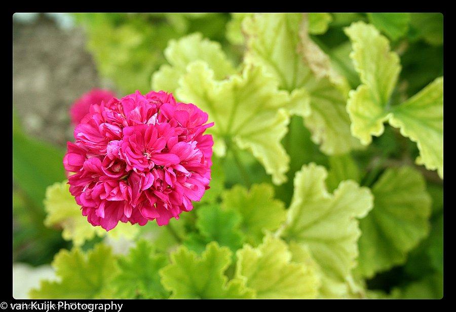 Maltese temple flower
